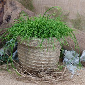 Rhipsalis Plant in pot