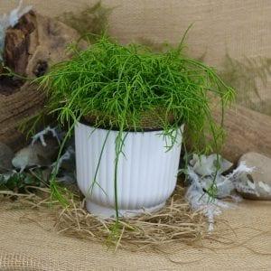 Rhipsalis Plant in white pot