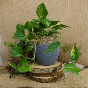 Money plant grey pot