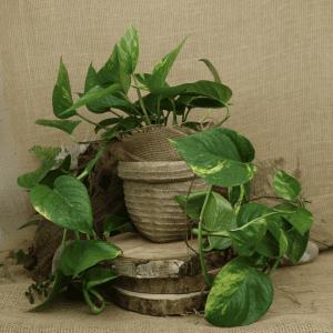 New Money Plant